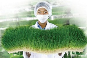 Scientist_Holding_Wheatgrass-300x243
