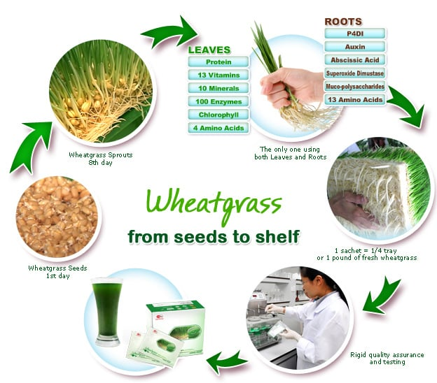 Wheatgrass grown aeroponically